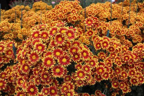 хризантема сорт акимия