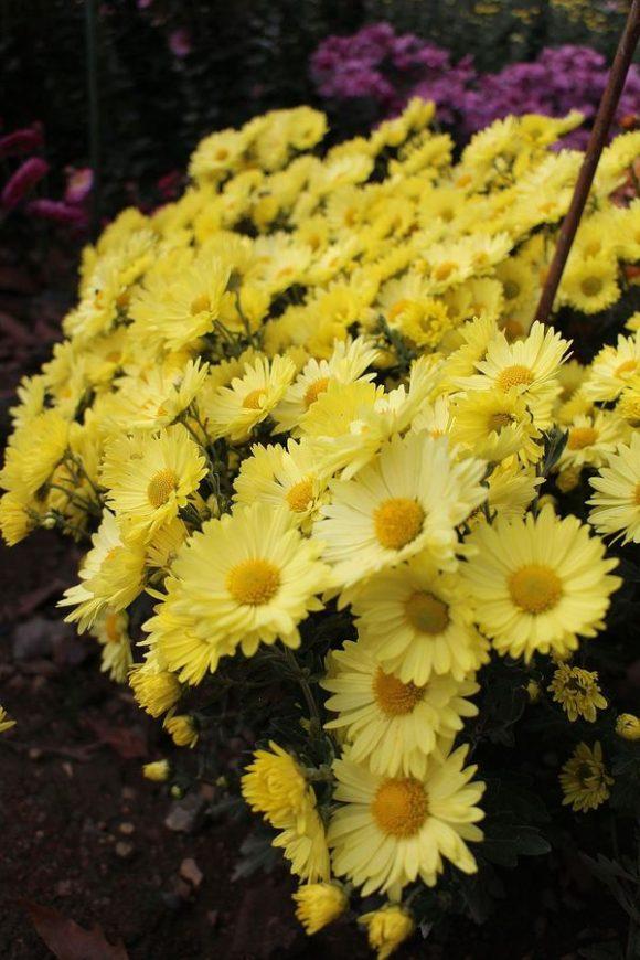 хризантема сорт кореянка
