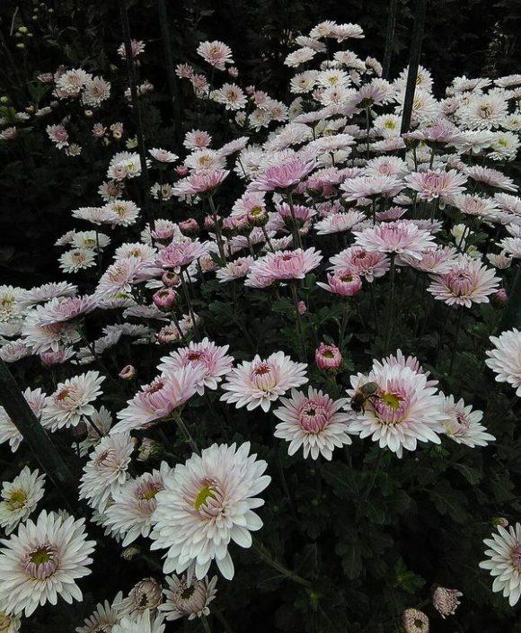 хризантема сорт леди ди