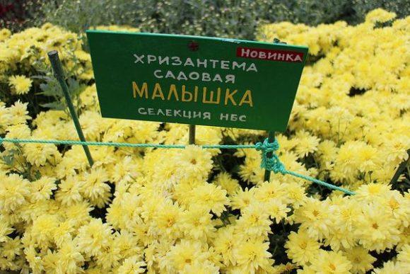 хризантема сорт малышка