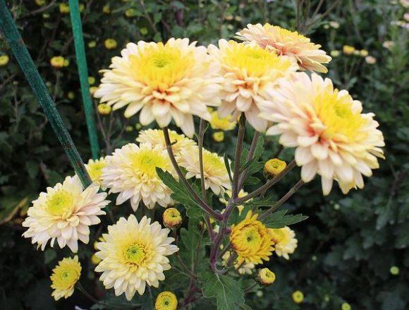 хризантема сорт нежность
