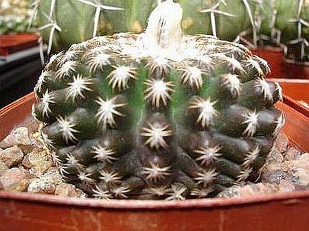 Discocactus