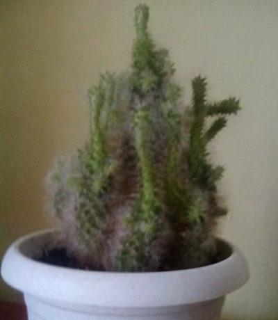 что за кактус