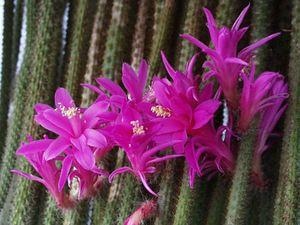 лесные кактусы миниатюра