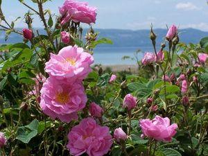 мароканская роза миниатюра