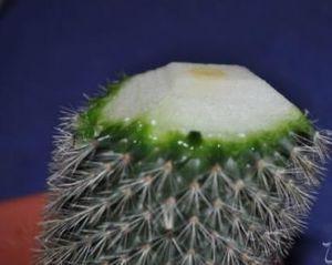реанимация кактуса миниатюра