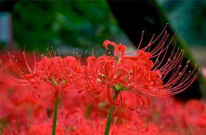 цветение ликориса миниатюра