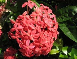 цветы вьетнама 1 миниатюра