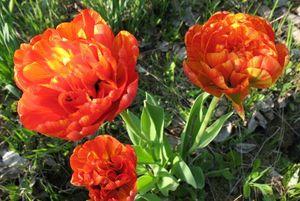тюльпаны миниатюра