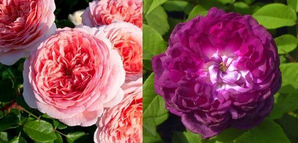 Кустарниковые розы Абрахам Дерби и Кардинал Ришелье