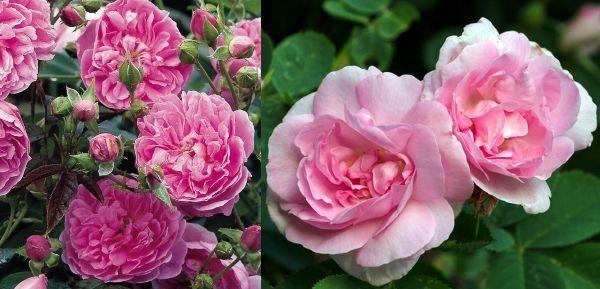 Кустарниковые розы Фонте Латюр и Селеста