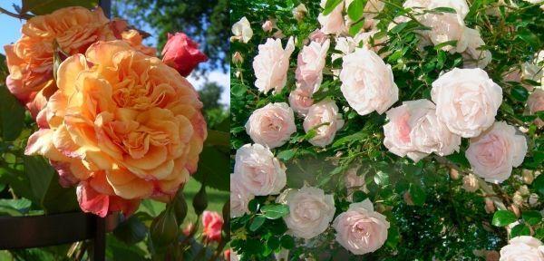 Плетистые розы Алоха и новая заря