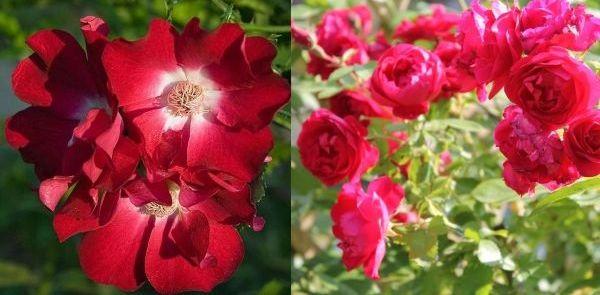Плетистые розы Дортмунд и Танец огня