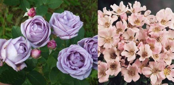 Почвопокровные розы Голубая луна и Нозоми