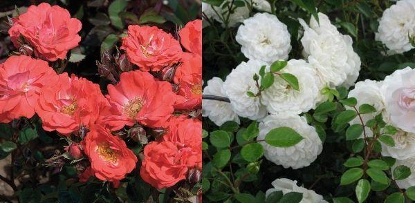 Почвопокровные розы Корал дрифт и Свани