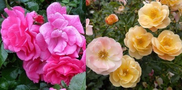 Почвопокровные розы сорт Фэари Тейл и Янтарный ковер