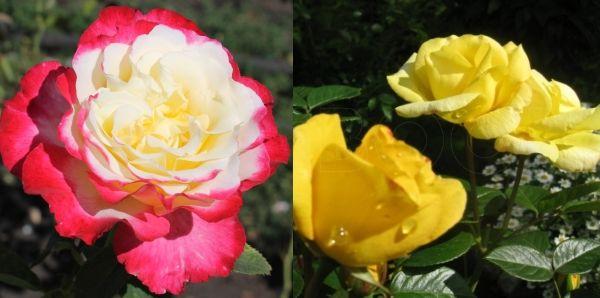 Розы флорибунда Восторг и Артур Белл