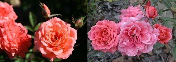 Розы патио Анжелла Риппон и Леди Мейладина