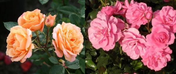 Розы патио Эприкот Климентин и Прекрасная Полли