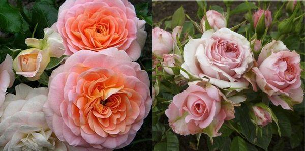 Розы патио Сладкие грезы и Стейси Сью