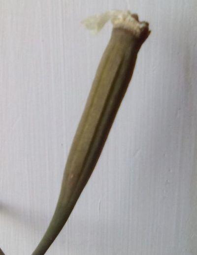 орхидея семена