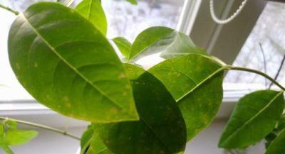 монстера пятна на листьях