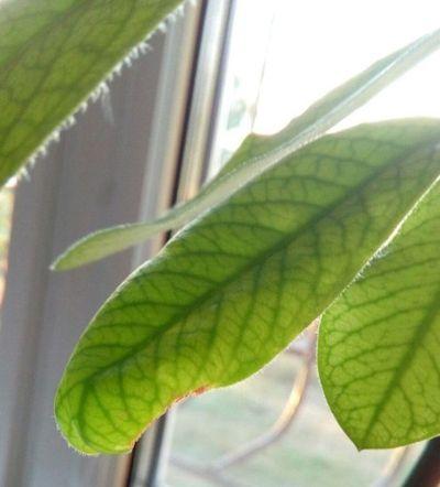 синадениум пятна на листьях