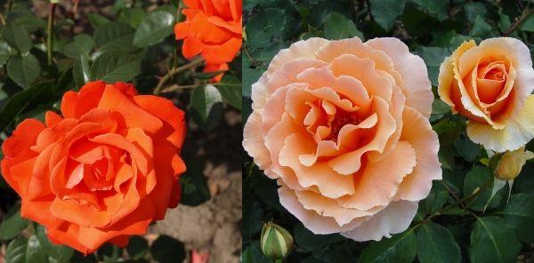 чайно-гибридные розы Александер и Джой