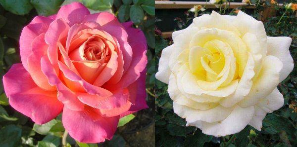 чайно-гибридные розы Чикаго и Элина