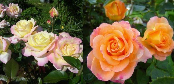 чайно-гибридные розы Старый Диксон и Фултон Мак Кей