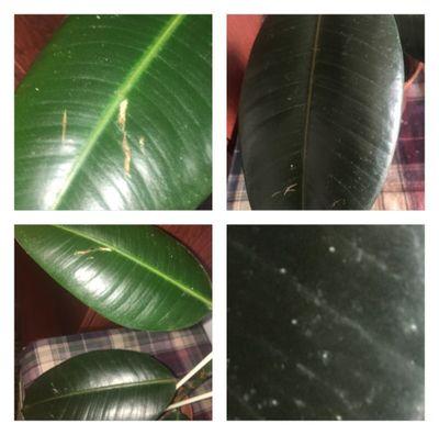 фикус пятна на листьях