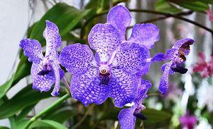 орхидея ванда миниатюра