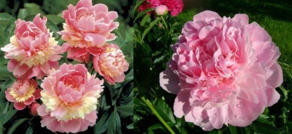 пион Сорбет и Розовый рассвет