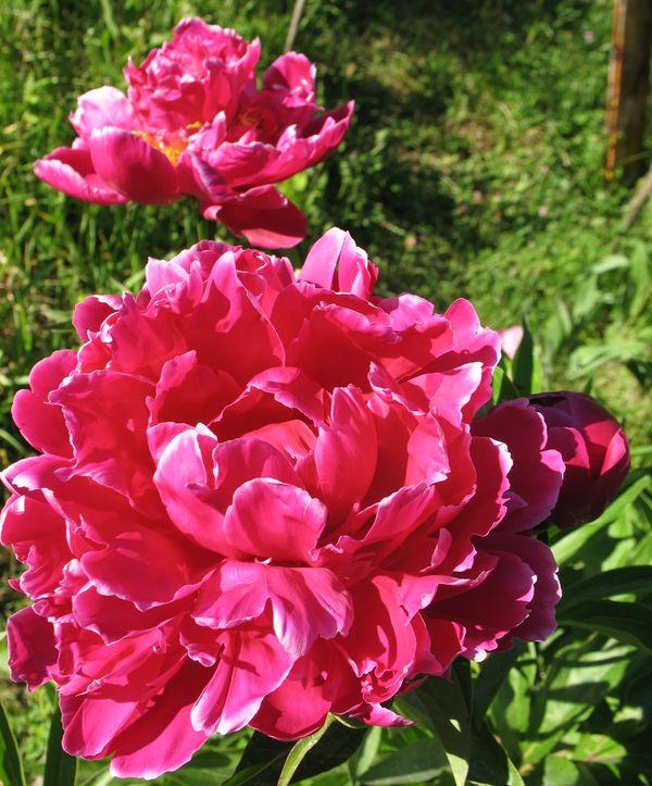 пионы садовые