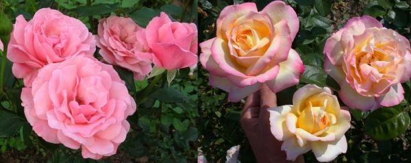 розы флорибунда Элизабет и Веченяя звезда