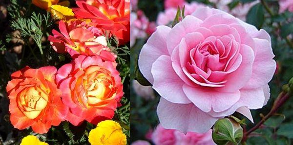 розы флорибунда Цирк и Боника