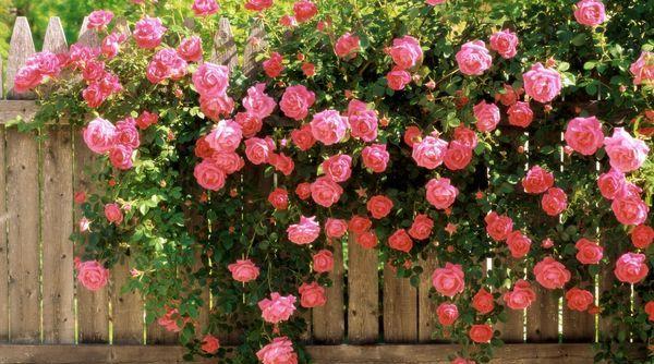 сорта плетисных роз