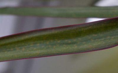 пятна на листьях драцены