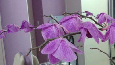 орхидея вянут цветки