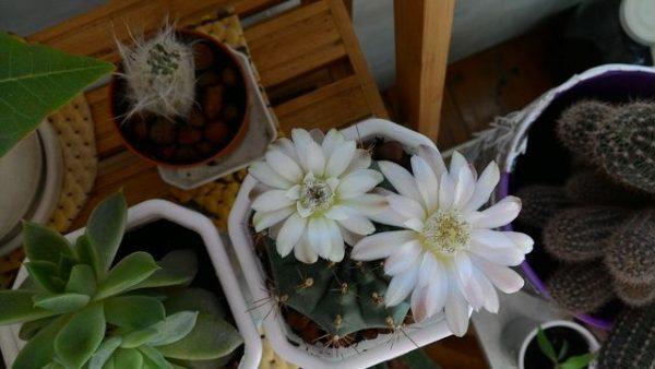 удобрение для кактусов