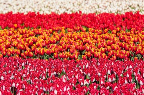поле тюльпанов
