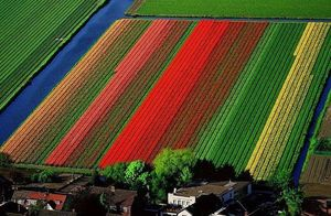 поле тюльпанов миниатюра