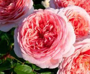 садовые розы миниатюра