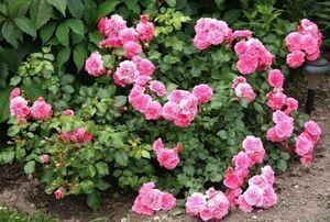 садовые розы миниатюра2