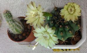 удобрения для кактусов миниатюра