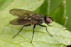 ирисовая муха миниатюра