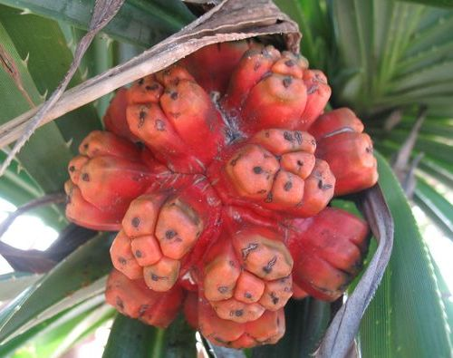 плоды пандануса