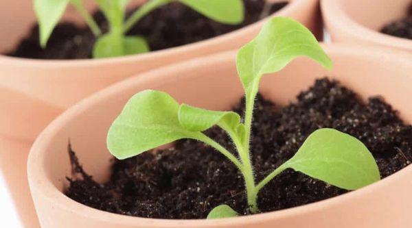 размножение цветов рассадой