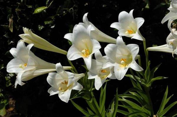 Длинноцветковые гибриды Longyflorum
