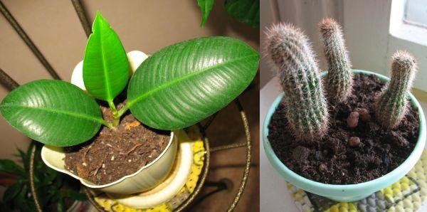 фикус эластик и кактусы